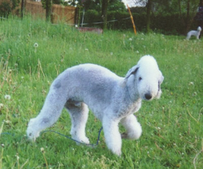 Tommy vom Idyll - Bedlington Terrier